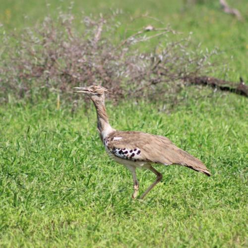 Birding-Safari-Bustard