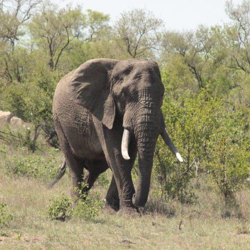 Large Bull Elephant Kruger Park Safaria