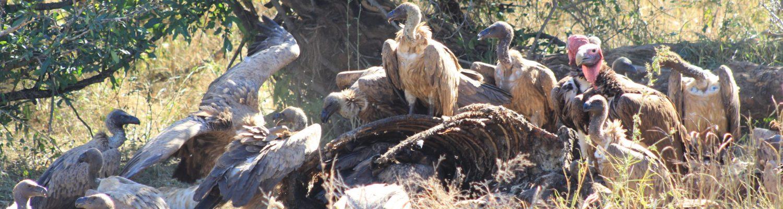 Vultures feeding Kruger Park Safaria